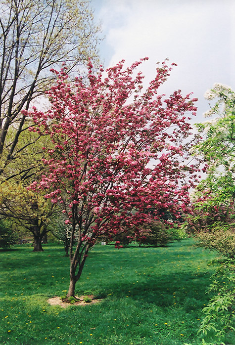 Red Baron Flowering Crab Malus Red Baron In
