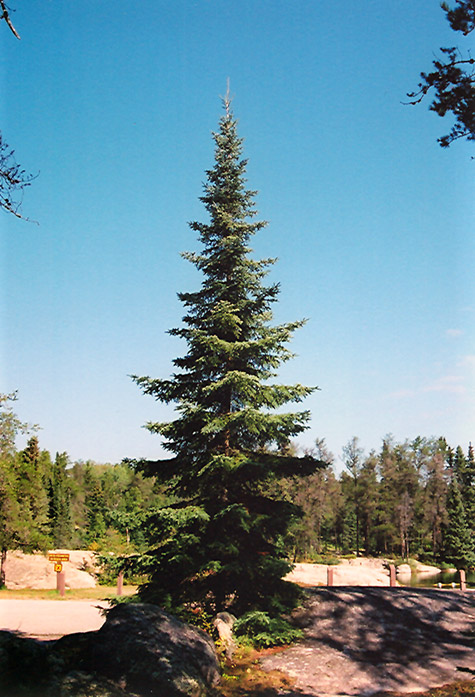 balsam fir  abies balsamea  in minneapolis st paul twin cities metro eden prairie minnesota mn