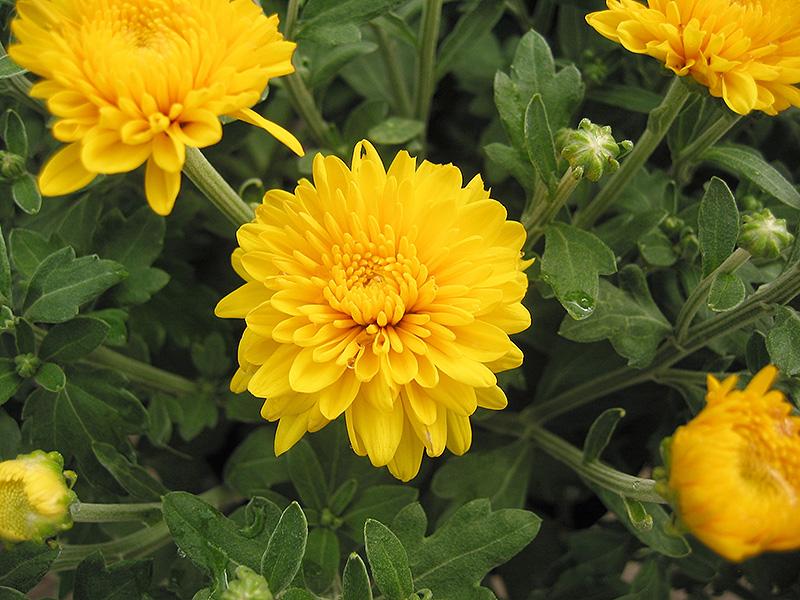 Yellow Ginger Chrysanthemum  Chrysanthemum  Yellow Ginger   at JamesYellow Ginger Flower