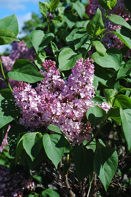 marie frances lilac syringa vulgaris 39 marie frances 39 in. Black Bedroom Furniture Sets. Home Design Ideas