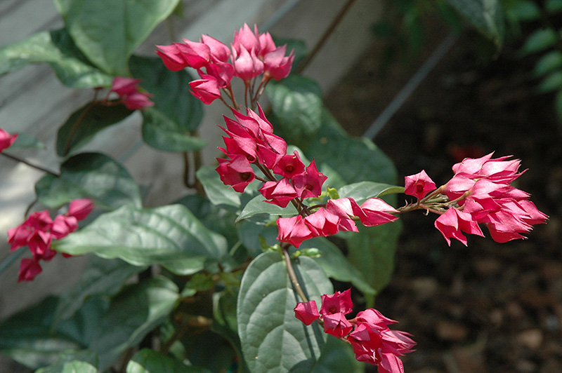 Clerodendrum Splendens Flaming Glorybower (Cl...