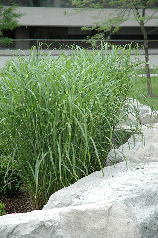 zebra grass miscanthus sinensis 39 zebrinus 39 in ottawa. Black Bedroom Furniture Sets. Home Design Ideas