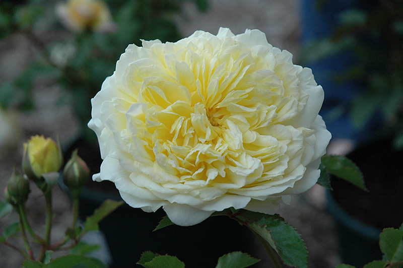 the pilgrim rose rosa 39 the pilgrim 39 in saskatoon. Black Bedroom Furniture Sets. Home Design Ideas