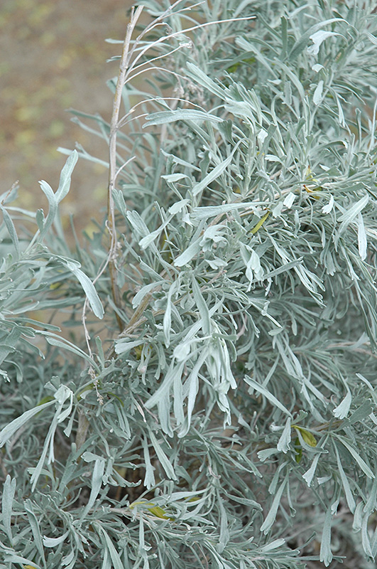 Sage Brush (Artemisia tridentata) in Saskatoon, Saskatchewan (SK) at ...