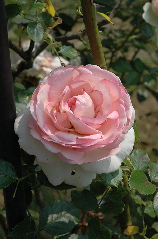 eden rose rosa 39 eden 39 in saskatoon saskatchewan sk at. Black Bedroom Furniture Sets. Home Design Ideas