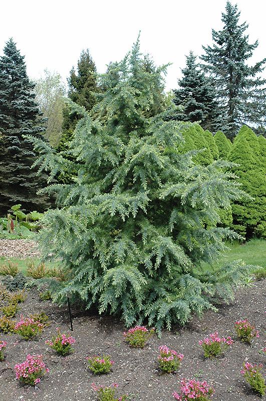 Deodar Cedar Tree Varieties ~ Bush s electra deodar cedar cedrus deodara
