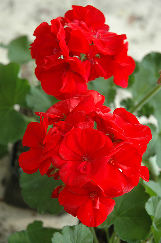 Maestro Bright Red Geranium Pelargonium At Lakes Garden Centres