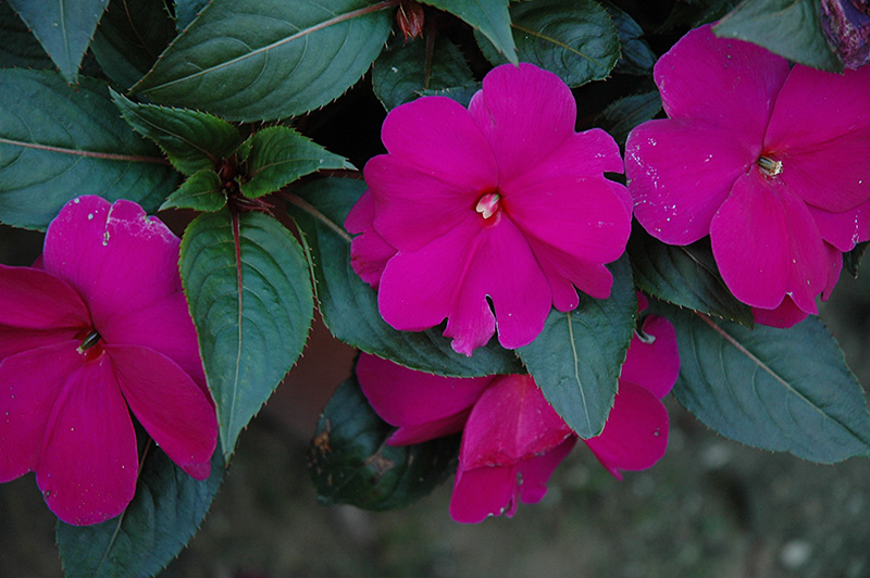 Sonic lilac new guinea impatiens impatiens 39 sonic lilac for New guinea impatiens