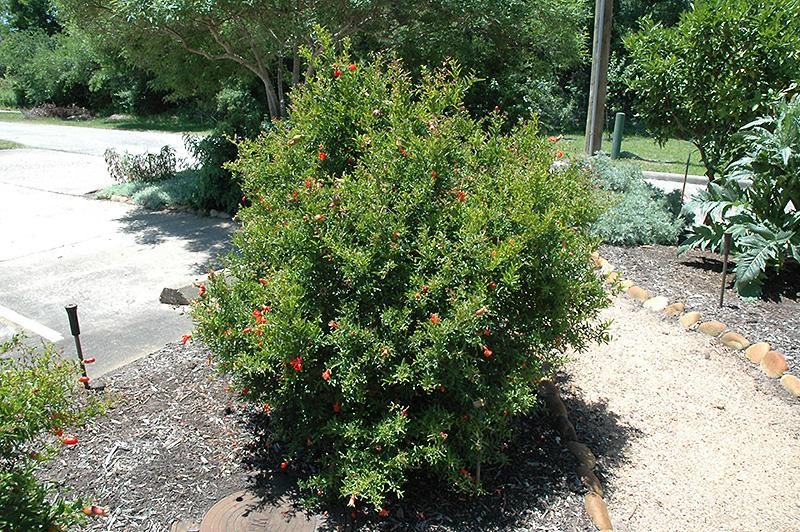 Chico Pomegranate (Punica Granatum U0027Chicou0027) At Lakeshore Garden Centres