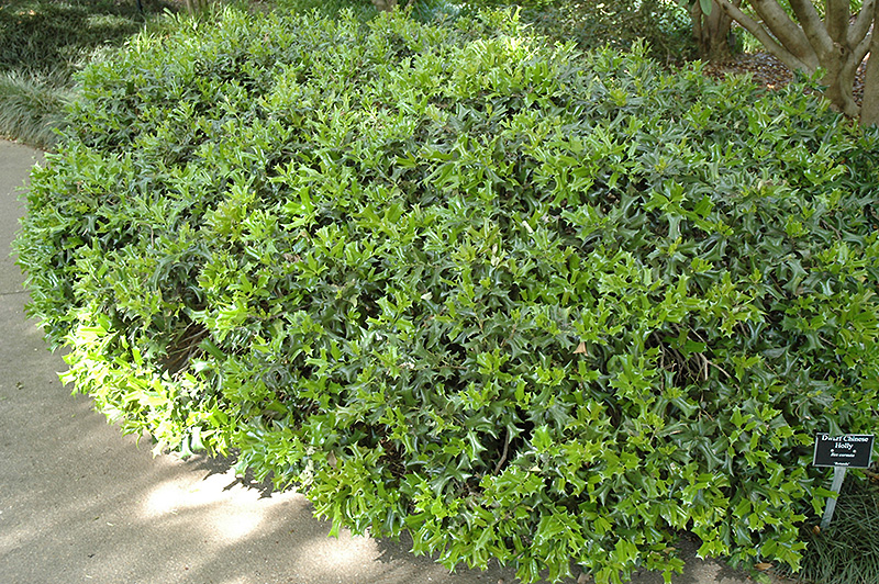 Rotunda Chinese Holly (Ilex cornuta 'Rotunda') in ...