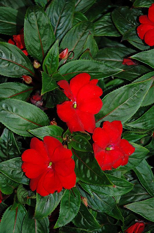 Tamarinda Max Red New Guinea Impatiens Impatiens