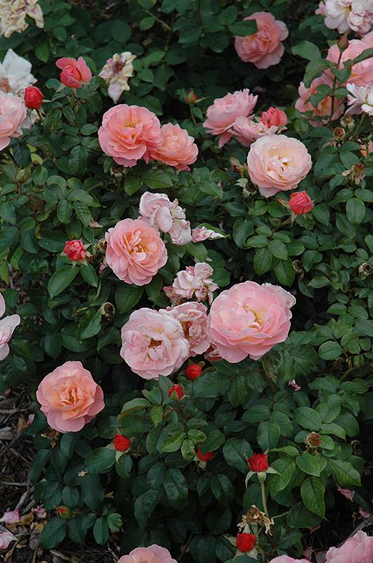 marie curie rose rosa 39 meilomit 39 in saskatoon saskatchewan sk at lakeshore garden centres. Black Bedroom Furniture Sets. Home Design Ideas