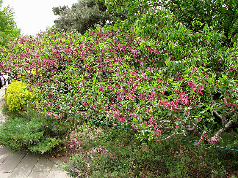 Prunus Persica Tree Prunus Persica 39 Versicolor 39 in