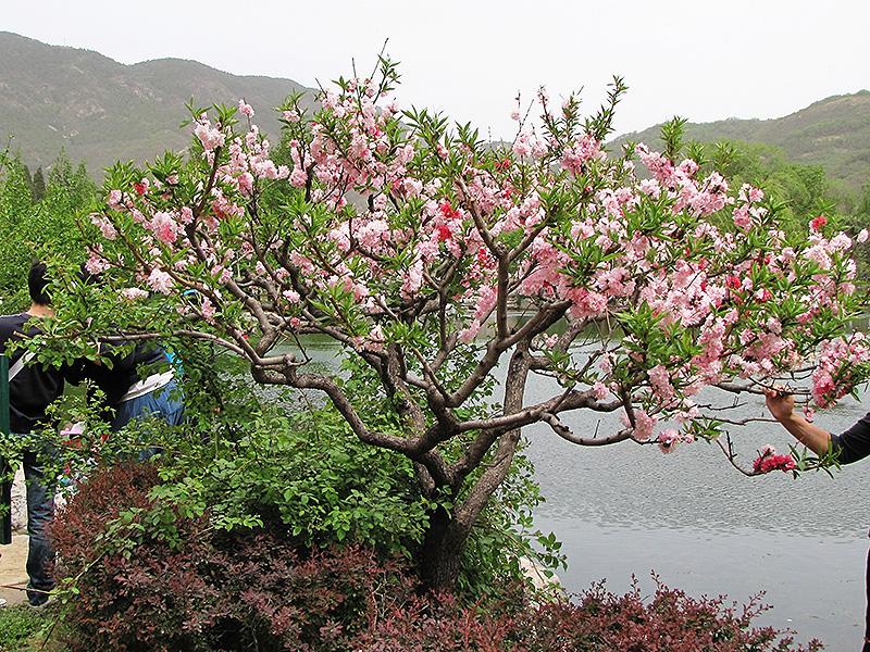 Prunus Persica Tree Prunus Persica 39 Peppermint 39 in