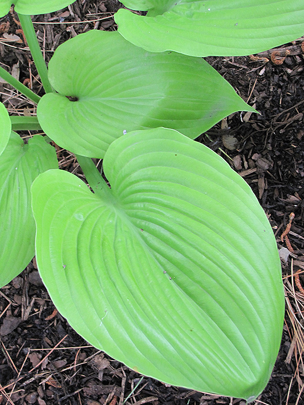 Sum And Substance Hosta (Hosta U0027Sum And Substanceu0027) In Denver Arvada Wheat  Ridge Golden Lakewood Colorado CO At Echteru0027s Nursery U0026 Garden Center