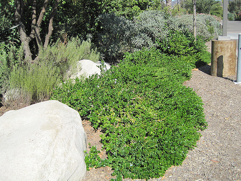 Pictures of Carissa Macrocarpa Green Carpet - #rock-cafe