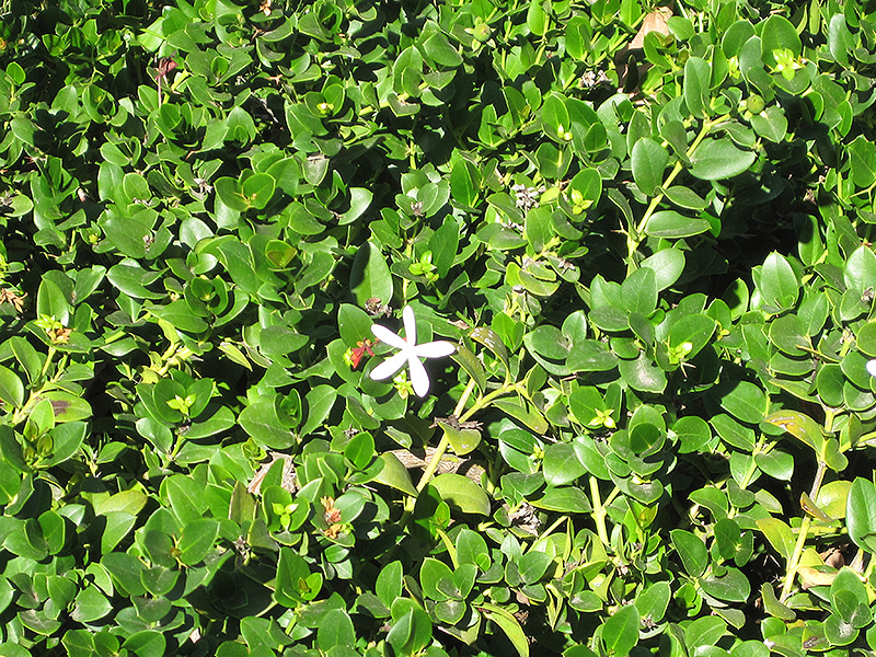 Green Carpet Natal Plum Plant Carpet Vidalondon