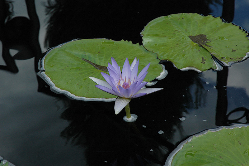 Blue Beauty Tropical Water Lily Nymphaea Blue Beauty