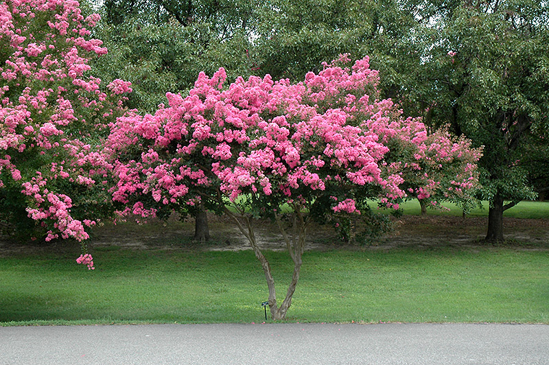 crapemyrtle lagerstroemia indica in lincoln massachusetts ma at stonegate gardens. Black Bedroom Furniture Sets. Home Design Ideas