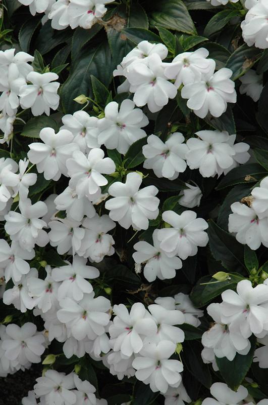 Big Bounce™ White Impatiens (Impatiens 'Balbigite') in ... White Impatiens Flowers
