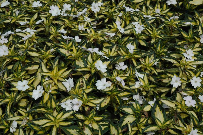 SunPatiens® Spreading White New Guinea Impatiens ... White Impatiens Flowers