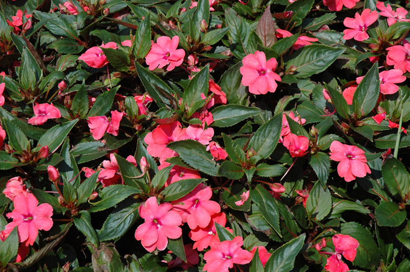 Sun harmony salmon new guinea impatiens impatiens 39 sun for New guinea impatiens
