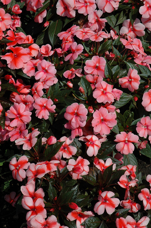 Florific sweet orange new guinea impatiens impatiens New guinea impatiens