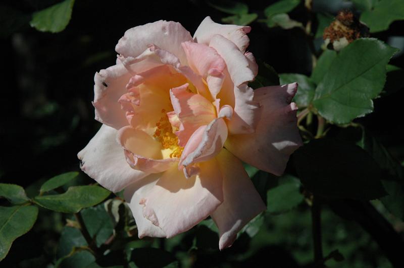 compassion rose rosa 39 compassion 39 in saskatoon saskatchewan sk at lakeshore garden centres. Black Bedroom Furniture Sets. Home Design Ideas