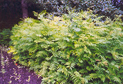 False Spirea (Sorbaria sorbifolia) at The Mustard Seed