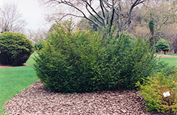 Canadian Yew (Taxus canadensis) at Lakeshore Garden Centres