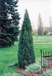 Medora Juniper (Juniperus scopulorum 'Medora') at The Mustard Seed