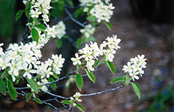 Common Serviceberry (Amelanchier oblongifolia) at The Mustard Seed