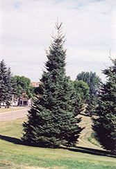 Black Hills Spruce (Picea glauca 'Densata') at The Mustard Seed