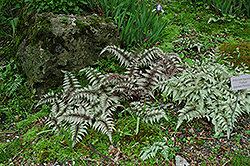 Japanese Painted Fern (Athyrium nipponicum 'Pictum') at The Mustard Seed