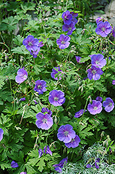 Johnson's Blue Cranesbill (Geranium 'Johnson's Blue') at The Mustard Seed