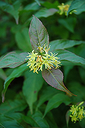 Bush Honeysuckle (Diervilla lonicera) at The Mustard Seed