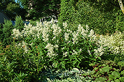 White fleeceflower persicaria polymorpha in saskatoon white fleeceflower persicaria polymorpha at lakeshore garden centres mightylinksfo