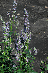 Anise Hyssop (Agastache foeniculum) at The Mustard Seed