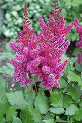 Visions Astilbe (Astilbe chinensis 'Visions') at The Mustard Seed
