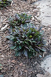 Chocolate Chip Bugleweed (Ajuga reptans 'Chocolate Chip') at The Mustard Seed