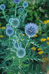Globe Thistle (Echinops ritro) at The Mustard Seed