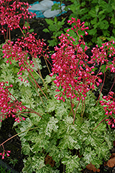 Snow Angel Coral Bells (Heuchera sanguinea 'Snow Angel') at The Mustard Seed