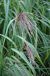 Maiden Grass (Miscanthus sinensis) at The Mustard Seed