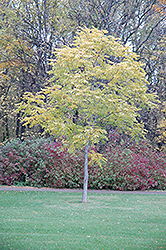Kentucky Coffeetree (Gymnocladus dioicus) at The Mustard Seed
