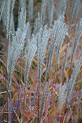 Flame Grass (Miscanthus sinensis 'Purpurascens') at The Mustard Seed