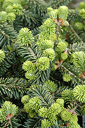 Dwarf Balsam Fir (Abies balsamea 'Nana') at The Mustard Seed