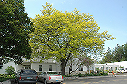 Sunburst Honeylocust (Gleditsia triacanthos 'Suncole') at The Mustard Seed