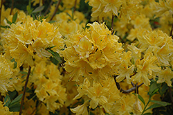 Lemon Lights Azalea (Rhododendron 'Lemon Lights') at The Mustard Seed