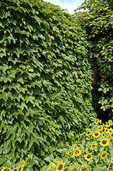 Boston Ivy (Parthenocissus tricuspidata) at The Mustard Seed