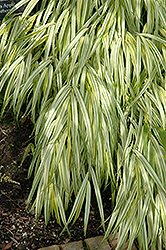 Golden Variegated Hakone Grass (Hakonechloa macra 'Aureola') at The Mustard Seed